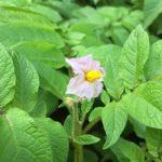 アンデスの開花