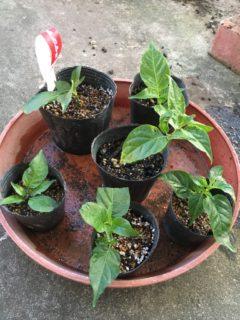 挿し芽と挿し木のポット植え