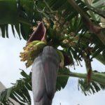 島バナナの出蕾