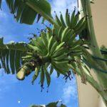 島バナナの花蕾落とし