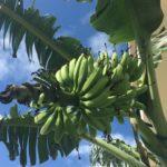 台風接近中!島バナナの運命は?