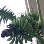 島バナナ、頑張った!