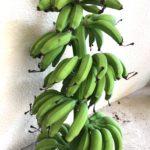 台風接近中!島バナナの収穫