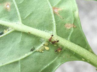 アブアムシに群がる蟻