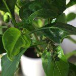 2018年 島とうがらし栽培 260日目 – 害虫増殖 –