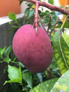 真っ赤なマンゴー