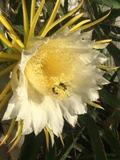 ドラゴンフルーツの花と蜜蜂