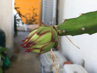 鉢植えのドラゴンフルーツの蕾
