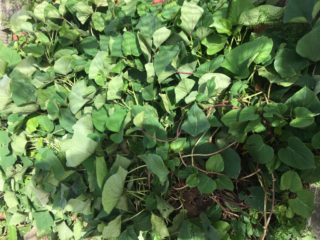 畑のサツマイモは葉が旺盛