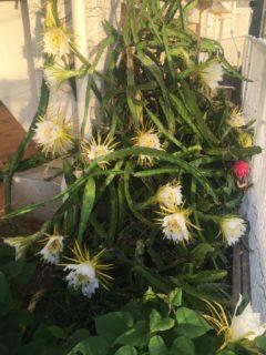 多数のドラゴンフルーツの花